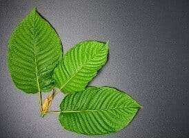 What is Kratom? Real Credible Science from Socratic Solutions
