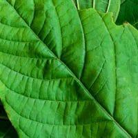 Green Vein Kratom Closeup | Socratic Solutions