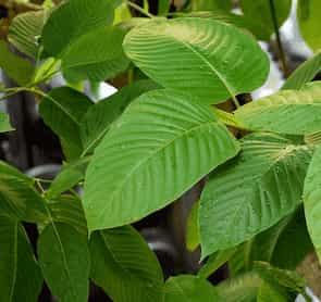 Kratom Leaves Low Def